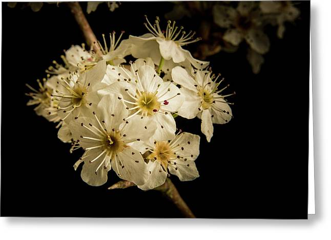 Dramatic Wild Plum Blooms 5536.02 Greeting Card by M K  Miller