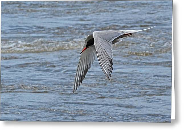 Tern Greeting Cards - Draw me a Bird in-flight Greeting Card by Asbed Iskedjian