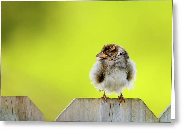 Sparrow Greeting Cards - Dream Sparrow Greeting Card by Betty LaRue