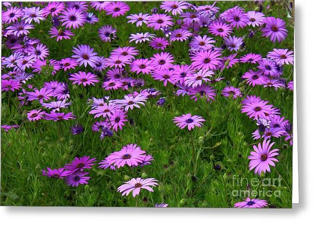 Garden Of Daisies Greeting Cards - Dreaming of Purple Daisies  Greeting Card by Carol Groenen