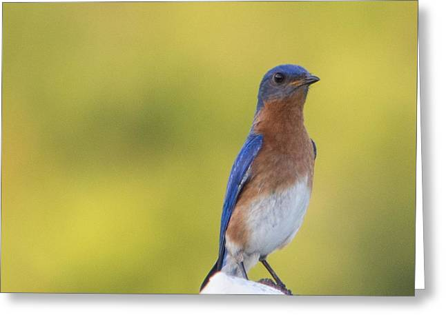 Starkey Greeting Cards - Dreamy Bluebird Greeting Card by Sigurd Olsen