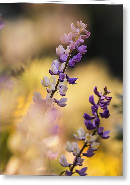 In Depth Greeting Cards - Dreamy Lupine bloom in spring Greeting Card by Vishwanath Bhat