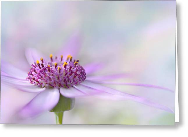 Pericallis Photographs Greeting Cards - Dreamy Two Greeting Card by Ann Bridges