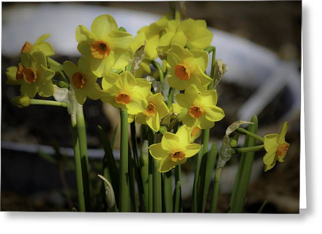 Spring Bulbs Greeting Cards - Dreamy Yellow Daffodils Greeting Card by Teresa Mucha