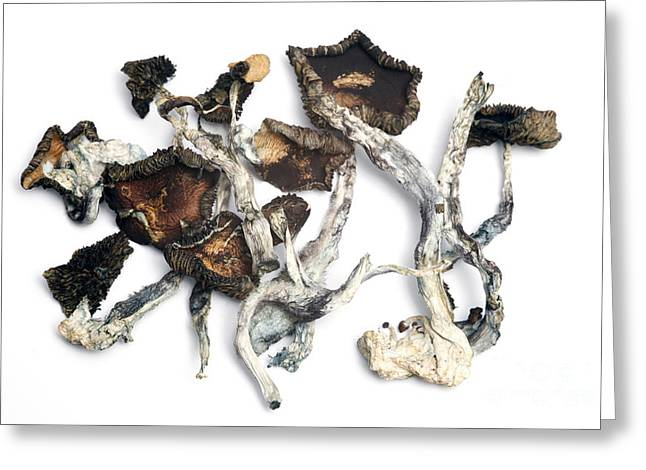 Magic Mushrooms Greeting Cards - Dried Psilocybe Cubensis Greeting Card by Ford McCann