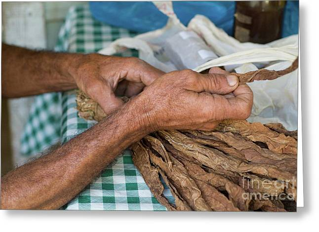 Senior Adult Greeting Cards - Dried tobacco leaves in mans hands Greeting Card by Sami Sarkis