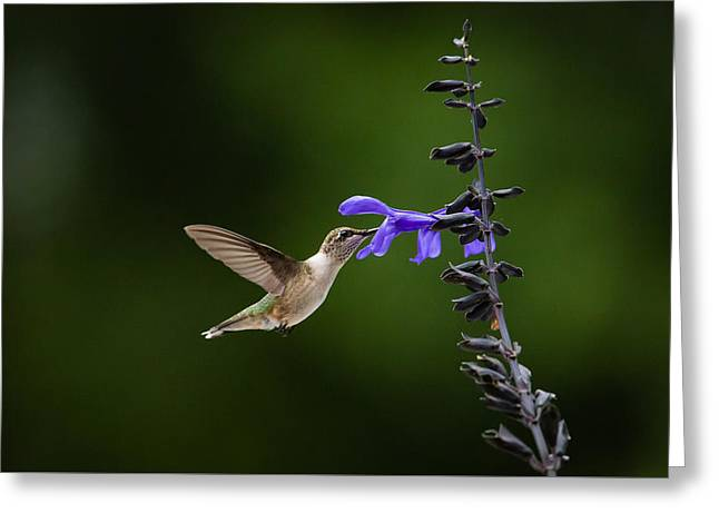 Flying Animal Greeting Cards - Drink in the Nectar - Ruby-throated Hummingbird Greeting Card by Christy Cox