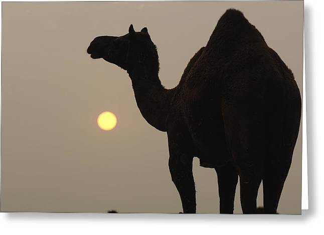 Dromedary Greeting Cards - Dromedary Camelus Dromedarius Greeting Card by Pete Oxford