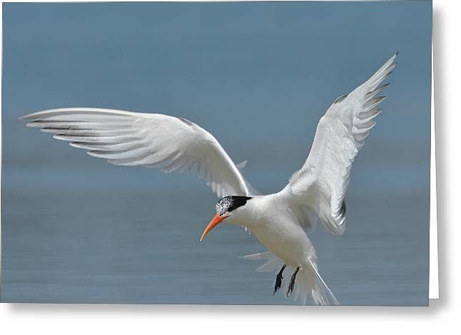 Tern Greeting Cards - Dropping In Greeting Card by Fraida Gutovich
