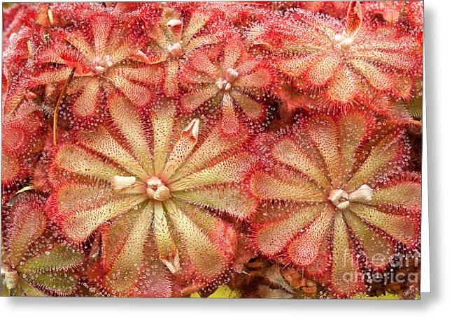 Rosette Greeting Cards - Drosera Sundew Plants Greeting Card by Inga Spence