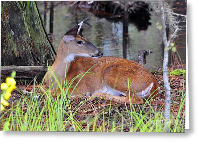 Throw Down Greeting Cards - Drowsy Deer Greeting Card by Al Powell Photography USA