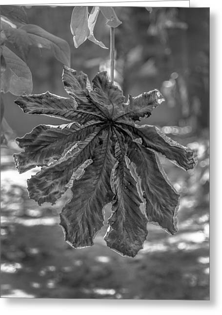 Series Dry Trees Greeting Cards - Dry Leaf Collection BnW Greeting Card by Totto Ponce