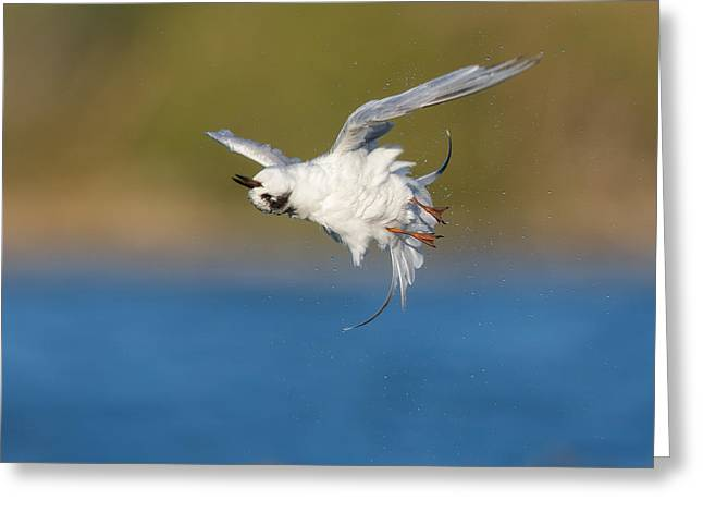 Tern Greeting Cards - Dry Spin Greeting Card by Phoo Chan