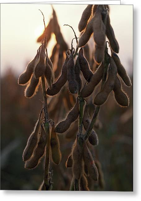 Three-quarter Length Greeting Cards - Drying Soybean Pods On The Bush Greeting Card by Chris Johns