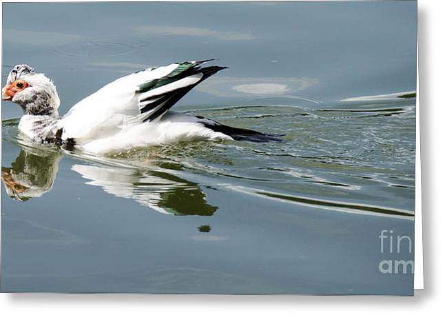 Swans... Greeting Cards - Duck  Greeting Card by Andrea Anderegg