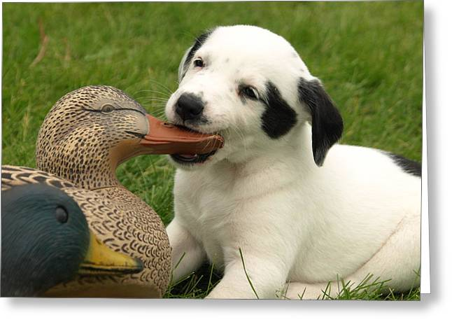 Puppies Photographs Greeting Cards - Duck Hunter Greeting Card by James Peterson