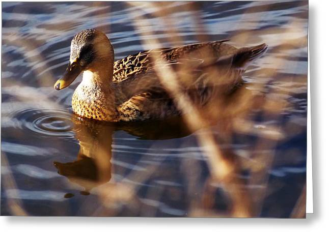 Hunting Bird Greeting Cards - Duck on the Water Greeting Card by John Krenzer