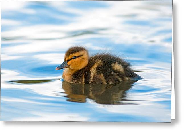 Baby Mallards Greeting Cards - Duckling Greeting Card by Randall Ingalls