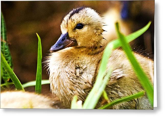 Duckling Greeting Card by Scott Pellegrin