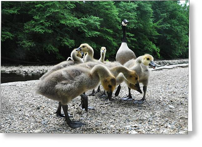 Ducklings Digital Greeting Cards - Ducklings Greeting Card by Bill Cannon