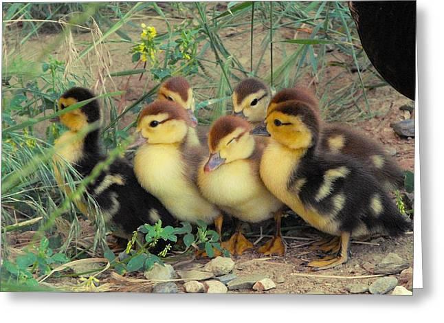 Ducklings Greeting Cards - Ducklings Greeting Card by Kae Cheatham