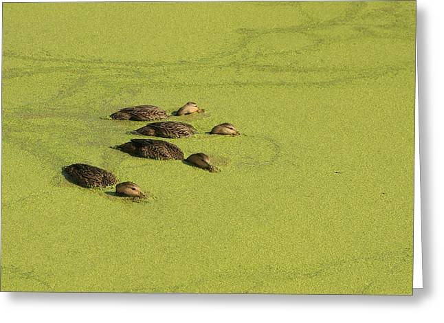 Duck Pond Greeting Cards - Ducks in a Row Greeting Card by Jon Glaser
