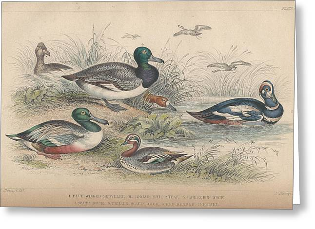 Biology Drawings Greeting Cards - Ducks Greeting Card by Oliver Goldsmith
