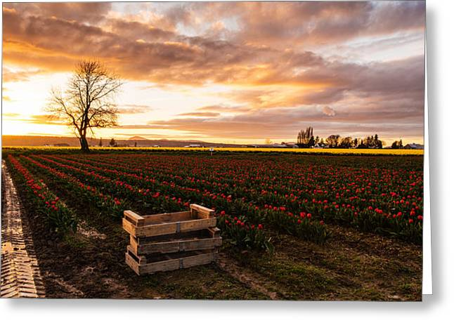 Mount Vernon Greeting Cards - Dusk Golden Light in the Tulip Fields Greeting Card by Mike Reid