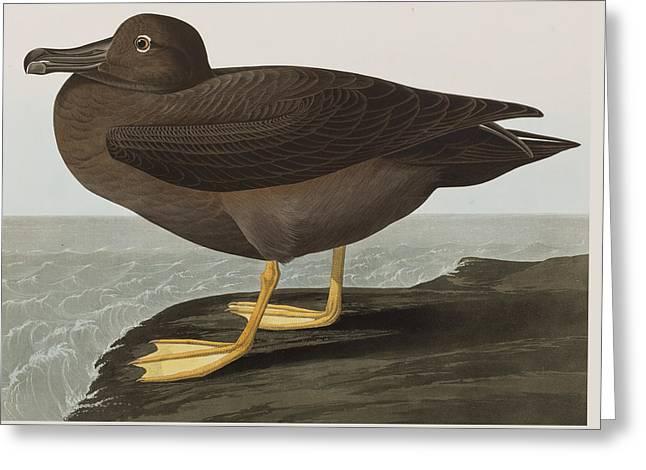 Dusky Greeting Cards - Dusky Albatros Greeting Card by John James Audubon