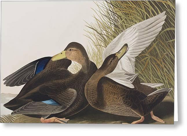 Dusky Duck Greeting Card by John James Audubon