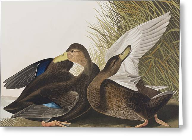 Preening Greeting Cards - Dusky Duck Greeting Card by John James Audubon
