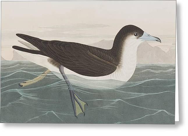 Sea Birds Greeting Cards - Dusky Petrel Greeting Card by John James Audubon