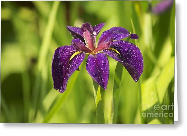 Raining Greeting Cards - Dutch Iris Greeting Card by Elaine Mikkelstrup