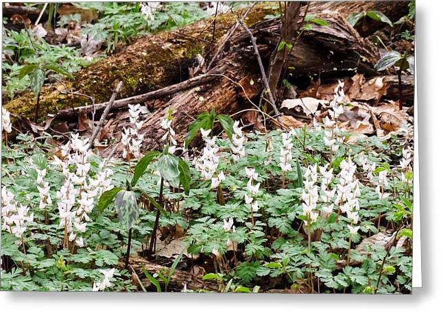 Dutchmen's Britches And Trillium Greeting Card by Cynthia Woods