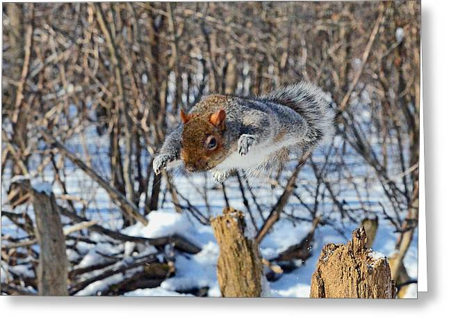 Sciurus Carolinensis Greeting Cards - Dynamic flight of the gray squirrel Greeting Card by Asbed Iskedjian