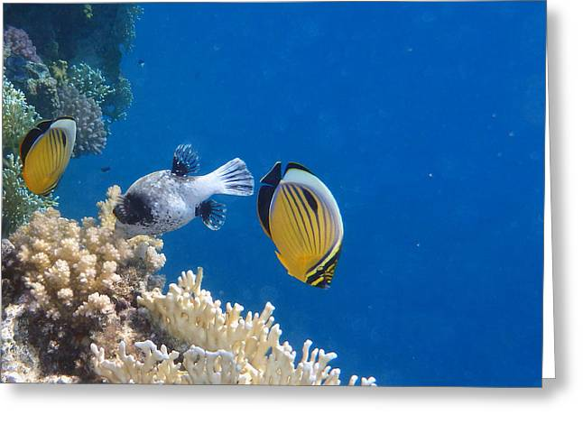 Decorative Fish Greeting Cards - E Butterflyfish and M Pufferfish Greeting Card by Johanna Hurmerinta
