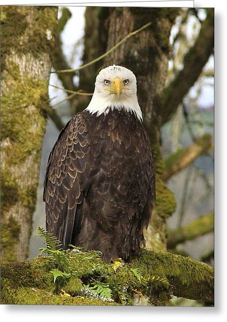 Eagle Greeting Cards - Eagle Eyes Greeting Card by Angie Vogel