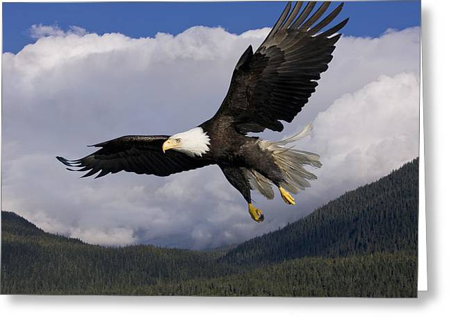 Tongass Greeting Cards - Eagle Flying in Sunlight Greeting Card by John Hyde - Printscapes