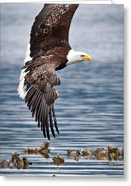Flying Animal Greeting Cards - Eagle Flying Over Oyster Beds Greeting Card by Athena Mckinzie