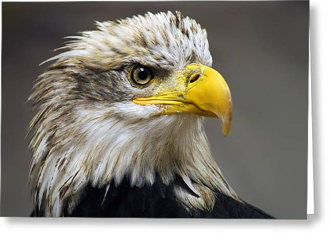 Eagles Greeting Cards - Eagle Greeting Card by Harry Spitz