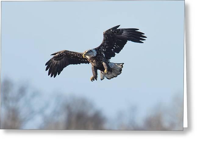 Eagles In Flight Greeting Cards - Eagle II Greeting Card by Paul Freidlund