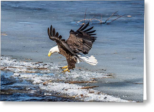 Eagle Landing Greeting Card by Paul Freidlund