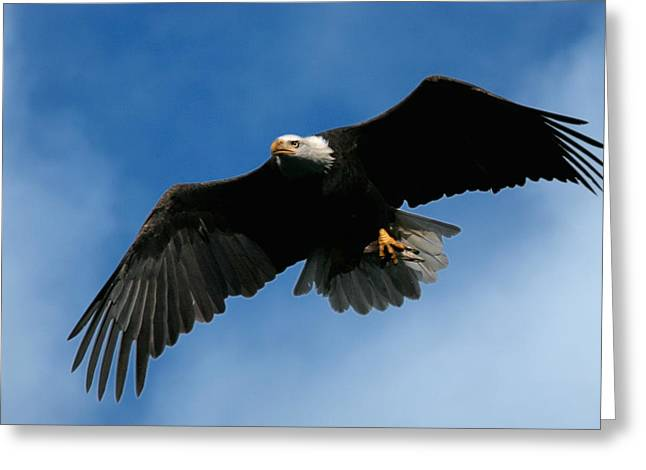 Flying Animal Greeting Cards - Eagle Pride Greeting Card by Randall Ingalls