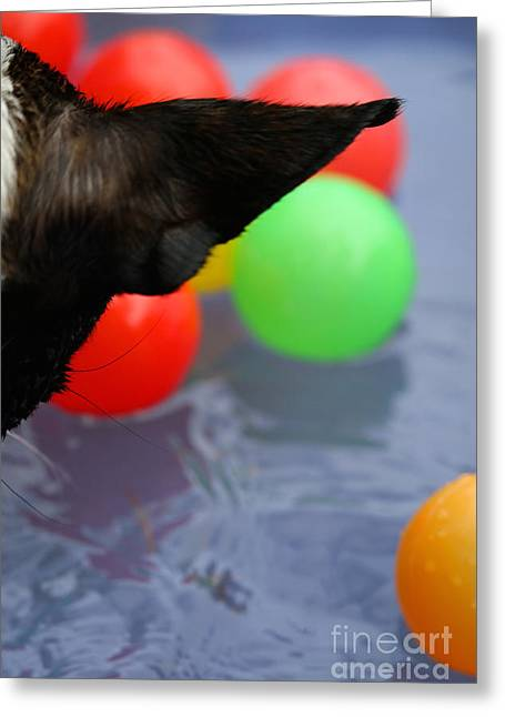 Toy Dog Greeting Cards - Ear On The Ball Greeting Card by Susan Herber