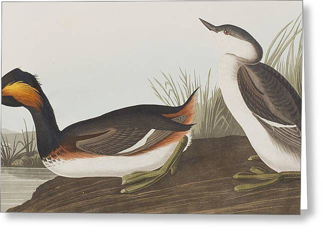 Ears Greeting Cards - Eared Grebe Greeting Card by John James Audubon