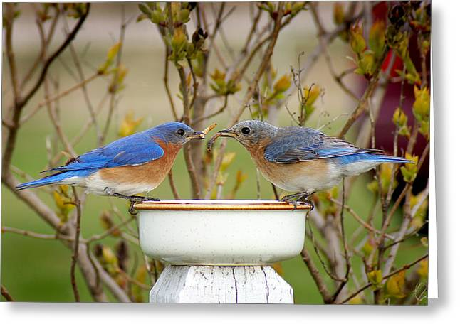 Eastern Bluebird Greeting Cards - Early Bird Breakfast for Two Greeting Card by Bill Pevlor