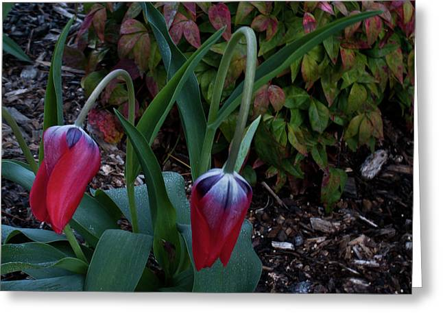 Hopelessness Greeting Cards - Early Morning Nodding Tulips Greeting Card by Douglas Barnett