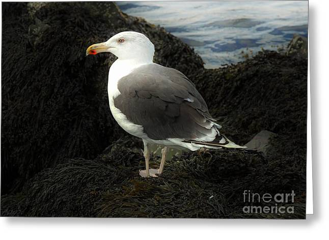 Fall Scenes Greeting Cards - East Coast Herring Seagull Greeting Card by Marcia Lee Jones