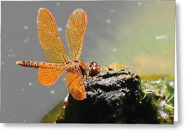 Amberwing Greeting Cards - Eastern Amberwing Greeting Card by David Rosenthal