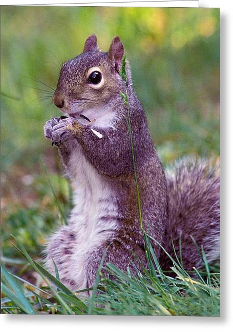 Gray Squirrel Greeting Cards - Eastern Gray Squirrel Greeting Card by Alan Lenk